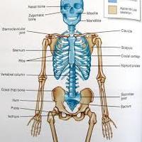 body system
