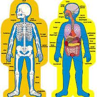 Human Body - Primary