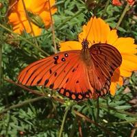 Genius Hour- Butterfly Gardening
