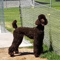 Brown Poodle Pix