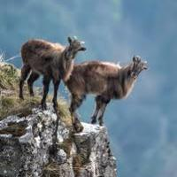 Year 12 Biology NZ Tahr Control