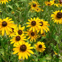 Black-Eyed Susan Nominees ~ 2015-16