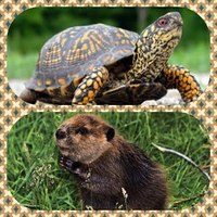 Beavers and Turtles