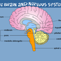 The Brain and the Nervous System Unit