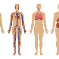 The gradual exploration of the human body through this anatomical body guide.