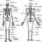 System #1 ( skeletal system )