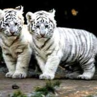 What if there were no white tigers?