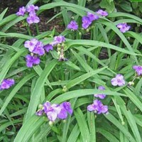 Tradescantia virginiana Virginia Native Plant