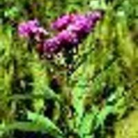 Vernonia noveboracensis
