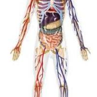 Body Systems - Middles