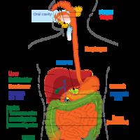 7th Grade--Digestive System