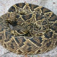 Alabama Snakes