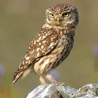 Resources about owls for primary students....