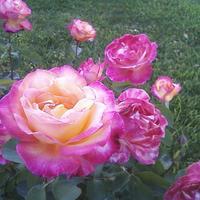Rose Binder