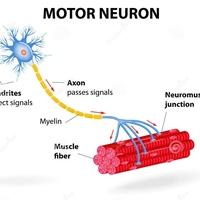 4.1 Neuromuscular System