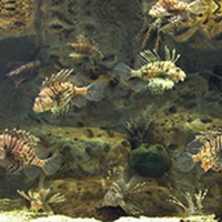 Invasive Species PROJECT/ Red lionfish