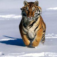Garner. Endangered Siberian Tigers